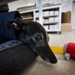 Greyhound on bed