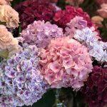 Different coloured Hydrangeas